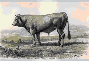 taur din regiunea Comté