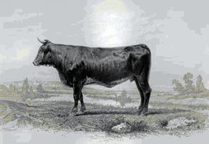 vacă din regiunea Comté